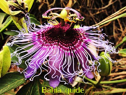 Maracuja (pasion fruit) has impressively beautiful flowers, discover them while visiting Chapada Diamantiana national park with Ivan Salvador da Bahia & official tour guide